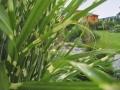 Декоративни треви