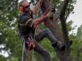 """Представените снимки са от една акция, която беше организирана с цел оформяне короната на високо, старо дърво от вида полски клен. За целта върхът на клена беше премахнат, а страничните клони бяха моделирани във формата на т.нар. пити. В крайна сметка дървото придоби вид на огромен бонсай и то в стил ''Духан от силни ветрове"""", т.е. с клони само от едната страна на стеблото. Специално внимание беше обърнато на множесвото хралупи. Полският клен е с дребни листа и е много подходящ за изработка на бонсаи. Мирослав не е бонсай майстор, но е понаучил нещо за това изкуство от неговия приятел Трифон Трифонов, най-добрият бонсай майстор на България и за следващите сто години. На снимките виждате самия създател на сайта, а неговият син Илия, специално беше ангажиран да отреже високия и наклонен към къщата връх на дървото, опасна операция, с която той като млад арборист се справи блестящо."""
