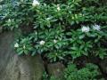 Рододендронова градина