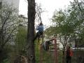 Тук ще видите Миро, синът му Илия и техния приятел Вальо да режат една много опасна топола. Дървото беше много проблемно, тъй като било загинало преди повече от три години, а към момента на премахването вече твърде изгнило. Акцията беше започната от Илия, но след като той отряза единия от върховете, баща му настоя да слезе. Мирослав видя, че сърцевината на стеблото спокойно можеше да се дълбае с пръсти и прецени, че операцията е особено рискова. Момчето е само на осемнайсет, студент е първа година ядрена физика и все пак трябва да завърши образованието си! Шегувам се. Рязането беше продължено от Мирослав, който даже се оплака, че болките в дясното му рамо временно отшумели; явно концентрацията на адреналин в кръвта из един път се повишила. Накрая тополата бе довършена от Вальо... а времето мрачно – духа, вали, мръщи се... приказка!